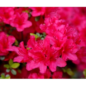 Azalea Evergreen Thierry Pink 2L