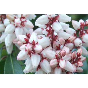 Pieris Bonfire 2L Pot