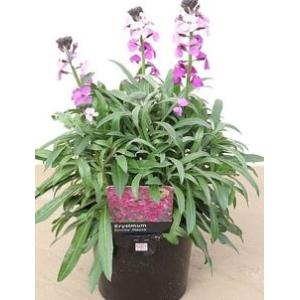 Erysimum Bowles Mauve (Everlasting Wallflower) 2L Pot