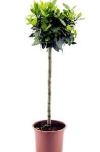 Bay Tree Standard 5L Pot