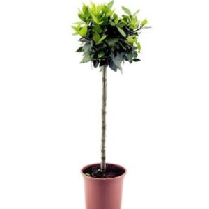 Bay Tree Standard 5L Pot