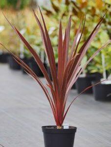 Cordyline Red Star 2L Pot