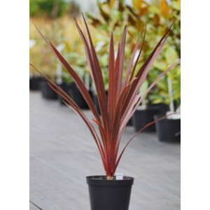 Cordyline Red Star 2L Pot