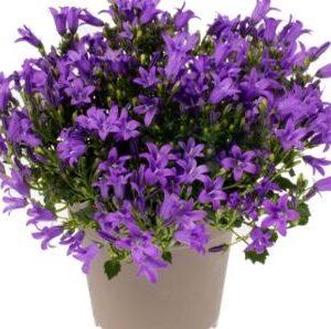 Campanula Intense Purple 10.5cm Pot