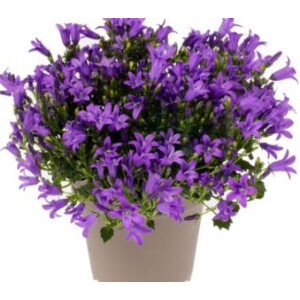 Campanula Intense Purple 10.5cm Pot