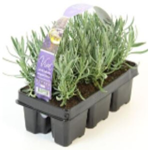 English Lavender 6 Pack