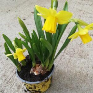 Dwarf Tete A Tete Daffodil 9cm pot