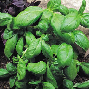 Herb Basil Pesto