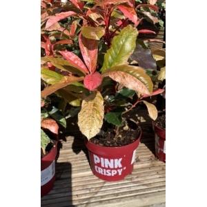 Photinia Pink Crispy 17cm Pot