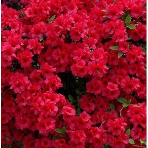 Azalea Bloom Champion Dark Red 3L Pot