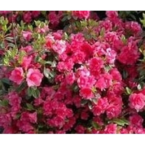 Azalea Bloom Champion Double Pink 3L Pot
