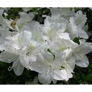 Azalea Bloom Champion White 3L Pot