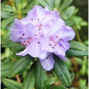 Rhododendron Dwarf Lilac Sapphire 3L Pot