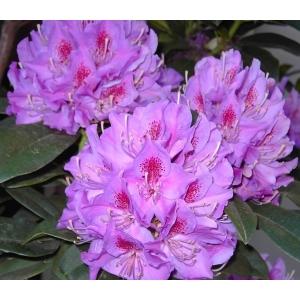 Rhododendron Anah Kruschke Purple 7.5L Pot