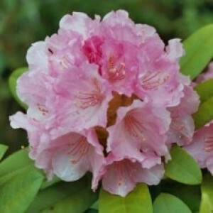 Rhododendron Doc Pink 3L Pot