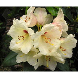 Rhododendron Flava Yellow 3L Pot