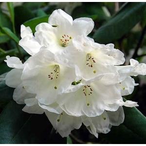 Rhododendron Silver Cloud White 3L Pot