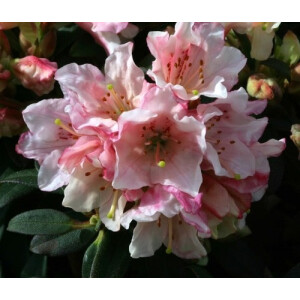 Rhododendron Dwarf Wee Bee Pink 3L Pot