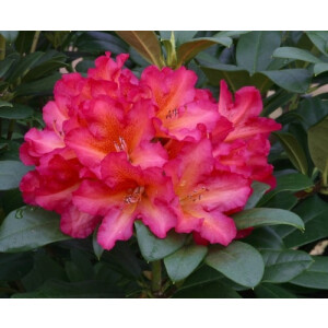 Rhododendron Golden Gate Red 7.5L Pot