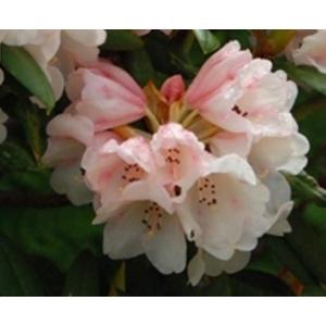 Rhododendron Grumpy Pink 3L Pot