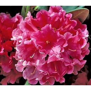 Rhododendron Looking Glass Pink 7.5L Pot