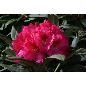Rhododendron Sneezy Pink 7.5L Pot
