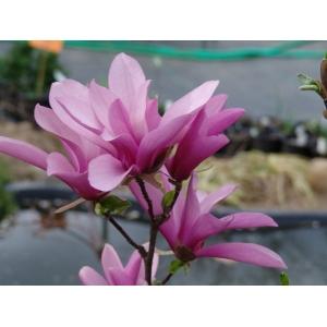 Magnolia Soulangeana Betty 3L Pot