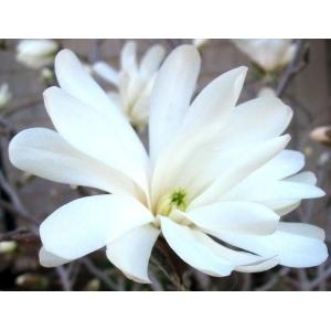 Magnolia Stellata Royal Star 3L Pot