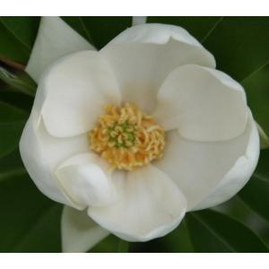 Magnolia Virginiana Glauca 4L Pot