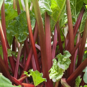 Rhubarb Timperley Early 3L Pot