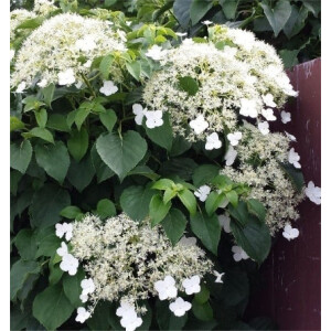 Hydrangea – Climbing 3L Pot