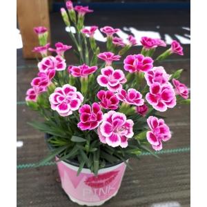 Dianthus Pink Kisses 10.5cm