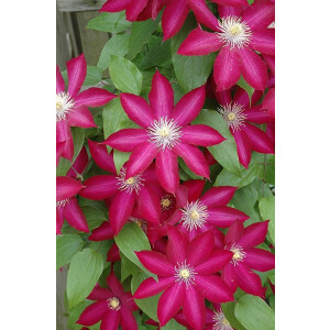 Clematis Bourbon 3L Pot