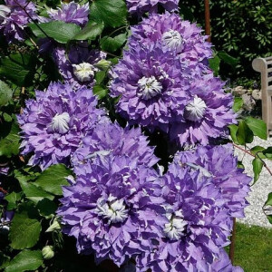 Clematis Diamantina 3L Pot