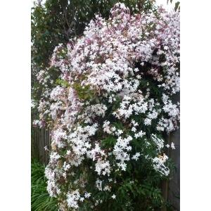 Jasmine – Common 3L Pot