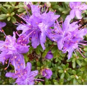 Rhodo Dwarf Impeditum Select Lilac 3L Pot