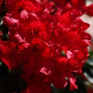 Rhodo Dwarf Baden Baden Red 3L