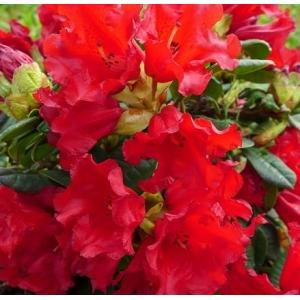 Rhodo Dwarf Bengal Red 3L Pot