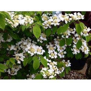 Viburnum Plicatum Lanarth 10L Pot