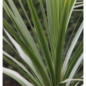 Cordyline Australis 5L Pot