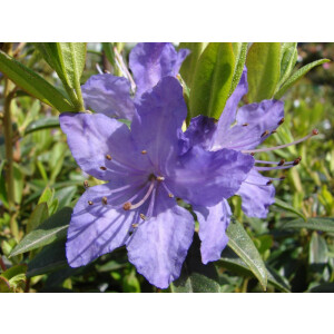 Rhododendron Dwarf Bluette Lilac 3L Pot