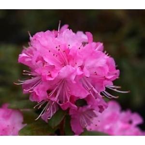 Rhodo Dwarf Anna Baldseifen Pink 3L Pot