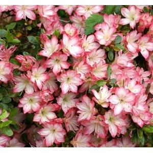 Azalea Japonica Peggy Ann 2L