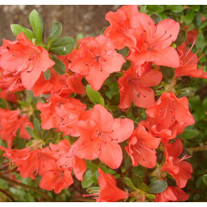 Azalea Evergreen Geisha Orange 2L Pot