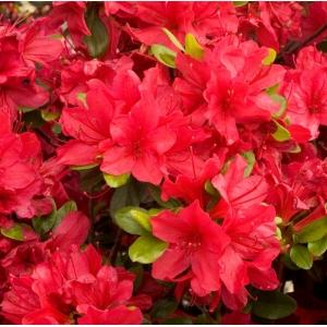 Azalea Evergreen Hino Crimson Red 2L Pot