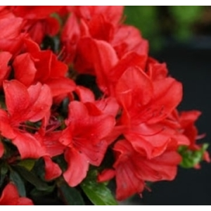 Azalea Evergreen Ardeur Red 2L Pot
