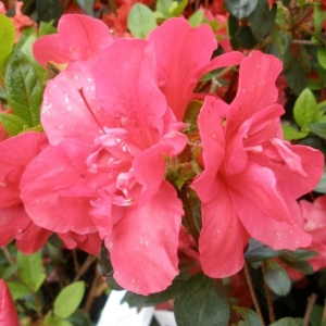Azalea Evergreen Florida Pink 2L Pot
