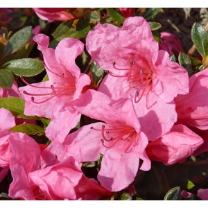 Azalea Evergreen Madame Van Hecke Pink 2L Pot