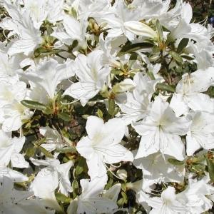 Azalea Evergreen Palestrina White 2L Pot