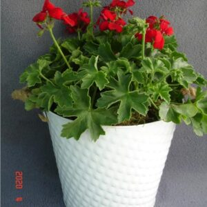 Geranium Planted Container Medium